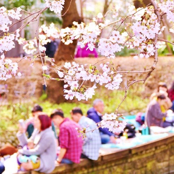 """Cherry Blossom Season """"Hanami"""" Online Experience's main gallery image"""